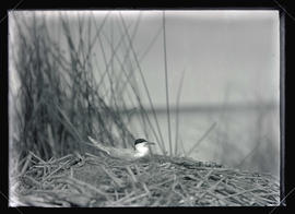 Forster's Tern at Nest