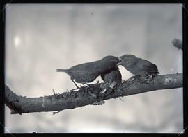Western Winter Wrens