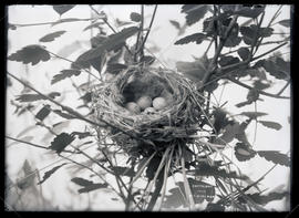 Western Flycatcher Nest