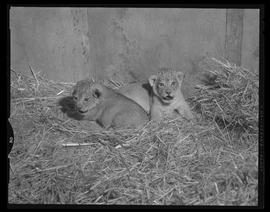 Lion Cubs, Portland Zoo