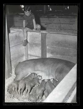 Unidentified boy looking at nursing piglets, probably at Pacific International Livestock Exposition