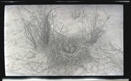 Laughing gull nest and eggs
