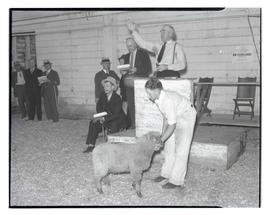 Sheep being sold at auction?