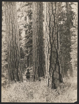 Logger stands amongst tall trees in Lake County, Oregon