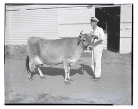 Young man with cow outside barn