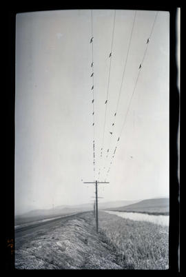 Birds on a telephone wire