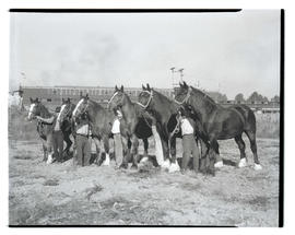Draft horses, possibly at livestock show