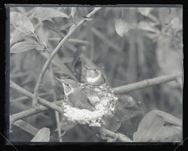 Rufous Hummingbirds in Nest