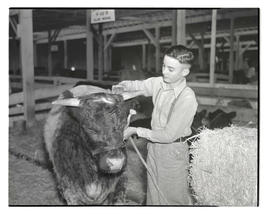 Boy with heifer or steer in barn