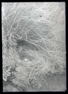 Brewer's Blackbird Nest