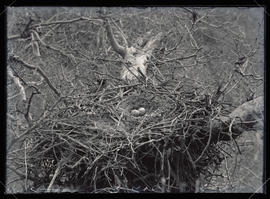 Golden Eagle Nest and Eggs