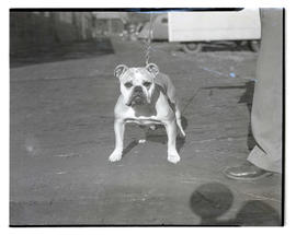 Bulldog, possibly at livestock show