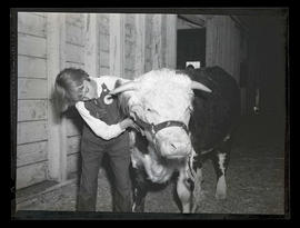 Unidentified 4-H member grooming steer at Pacific International Livestock Exposition in Portland