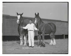 Unidentified man with grand champion shire horses at Pacific International Livestock Exposition
