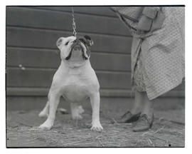 Bulldog, probably at Pacific International Livestock Exposition