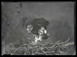 Golden Eagle in Nest