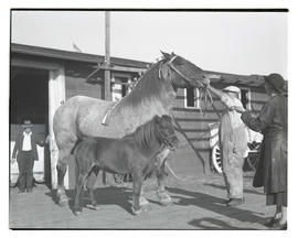 Horse and pony, probably at livestock show