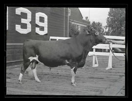 Bull, probably at Pacific International Livestock Exposition