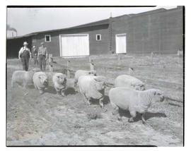 Sheep, possibly at livestock show