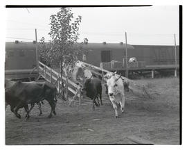 Cattle running down ramp from train