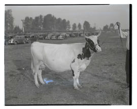 Grand champion Ayrshire cow, probably at Pacific International Livestock Exposition