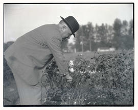 San Francisco Mayor James Rolph picking rose in Salem