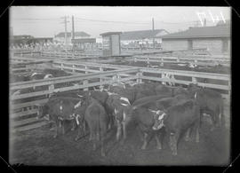 Cattle in stockyard at Union Meat Company