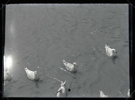 Gulls Swimming in Bay