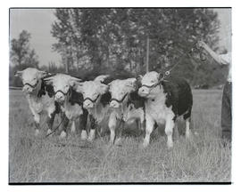 Baker County 4-H cattle, probably at Pacific International Livestock Exposition