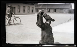 Bear drinking from a bottle