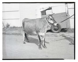 Cow, possibly at county fair