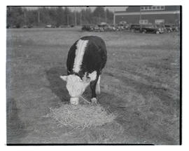 C. N. Reed's steer eating hay in field, probably at Pacific International Livestock Exposition