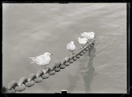 Four Gulls on an Anchor Chain