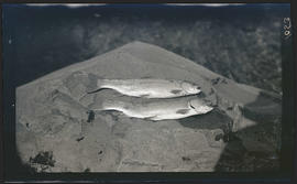 Fish caught at Crater Lake