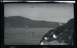 Gulls and murres