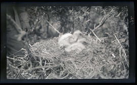 Common egret chicks