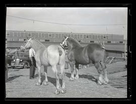 Rear view of two horses, possibly at livestock show