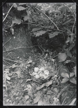 Ruffed Grouse Nest