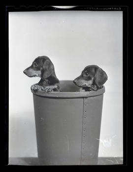 Dachshund puppies in bucket or wastebasket