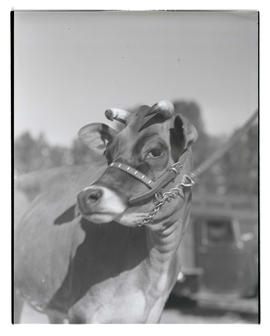 Steer or heifer, probably at Pacific International Livestock Exposition