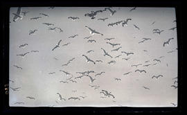 Birds in flight over Klamath Lake