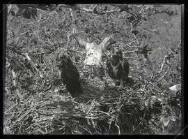 Golden Eagles in Nest