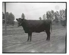 Heifer, probably at livestock show