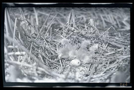 Egret chicks hatching