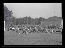 Handlers and cattle in field, probably at Pacific International Livestock Exposition