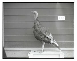 Turkey, probably at livestock show