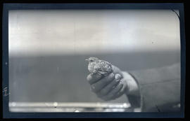 Unidentified bird in a man's hand.