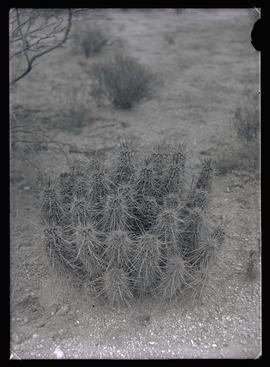 Cacti in the Arizona Desert