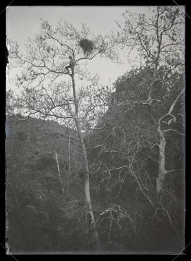 H. T. Bohlman with Hawk Nest