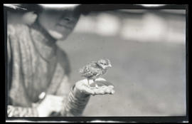 Pheasant chick on a woman's palm